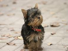 House Training To Yorkie Tips For Training Your Yorkie To Learn